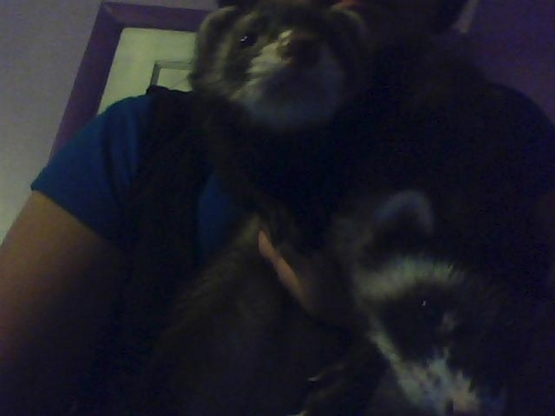 Mink and Typo.Yes,Typo. - ferrets Photo
