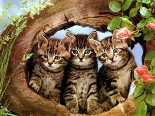 Kittens wallpaper probably containing a tabby, a tabby, and a cat entitled cuttest kittens ever