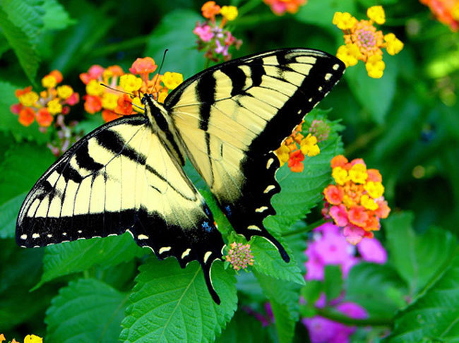 Awesome borboletas