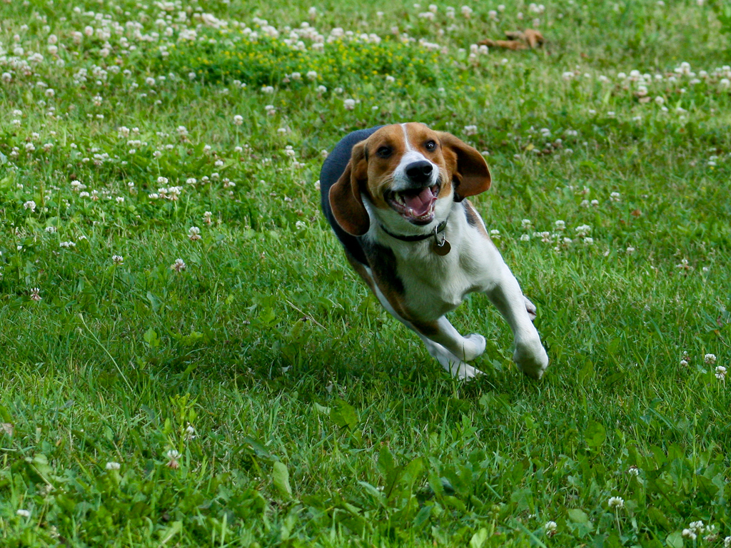 Beagle Running Beagles images Beagle ...