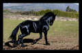 Jet black Friesian horse - friesians photo