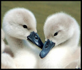 Me and Sylvie (baby swans)