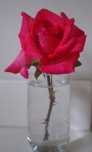My Hot rose Rose