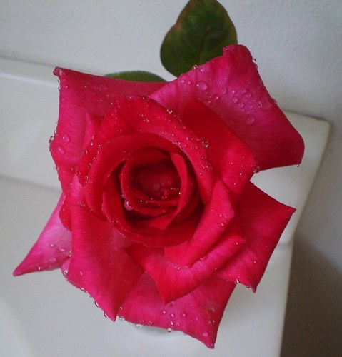 My Hot rosa, -de-rosa Rose