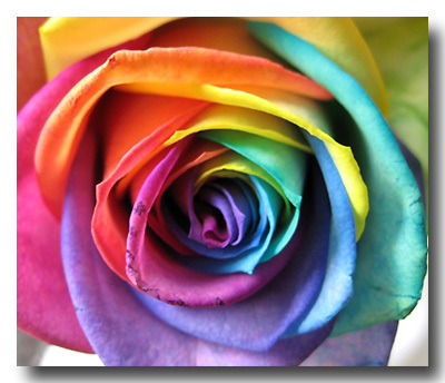 Roses wallpaper possibly with a rose titled Rainbow Roses