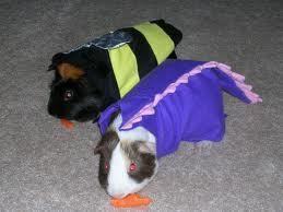 Pandemic Guinea Pigs