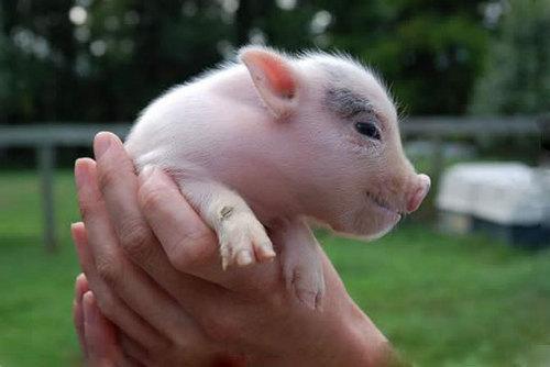 Pinky pigs