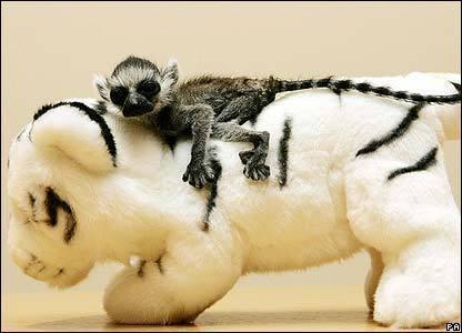 Lemurs Baby Ring-Taile...