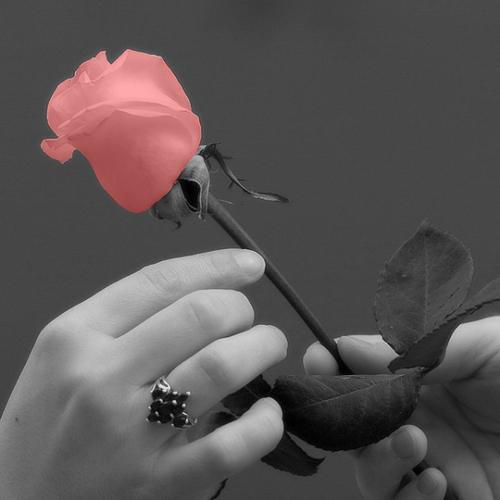 Roses wallpaper called Beautiful rose