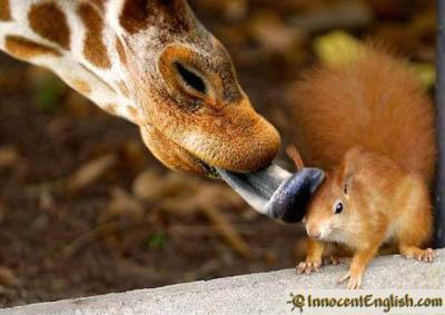 funny jokes wallpaper called Girraffe Licking A Squirrel