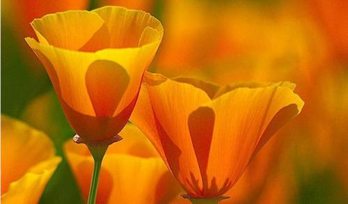 God's beautiful orange Blumen