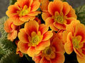 God's beautiful orange fleurs