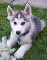 husky - siberian-huskies photo
