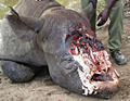 Slaughtered Rhino :( - against-animal-cruelty photo