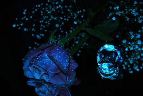 ~Blue Rose~