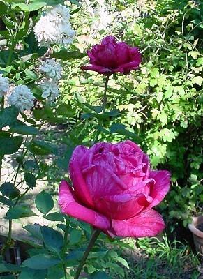 Brigitte Bardot rose