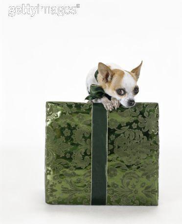 বড়দিন Dog
