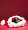 Christmas Kitten - teddybear64 photo
