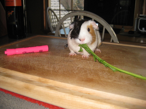 My guinea pig Lucy. ♥