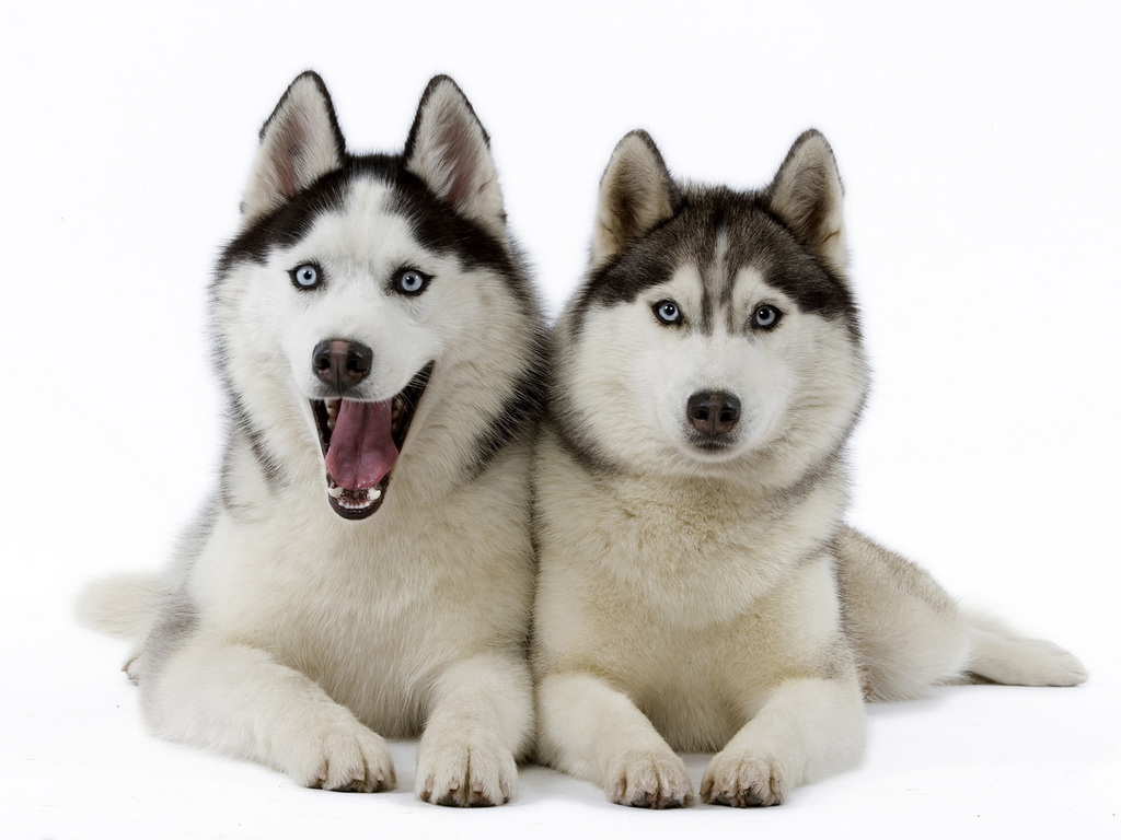 Dogs siberian huskies