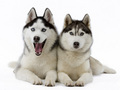 Siberian Huskies - dogs wallpaper