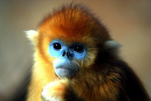 The Golden Monkey