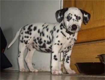 cute Anjing