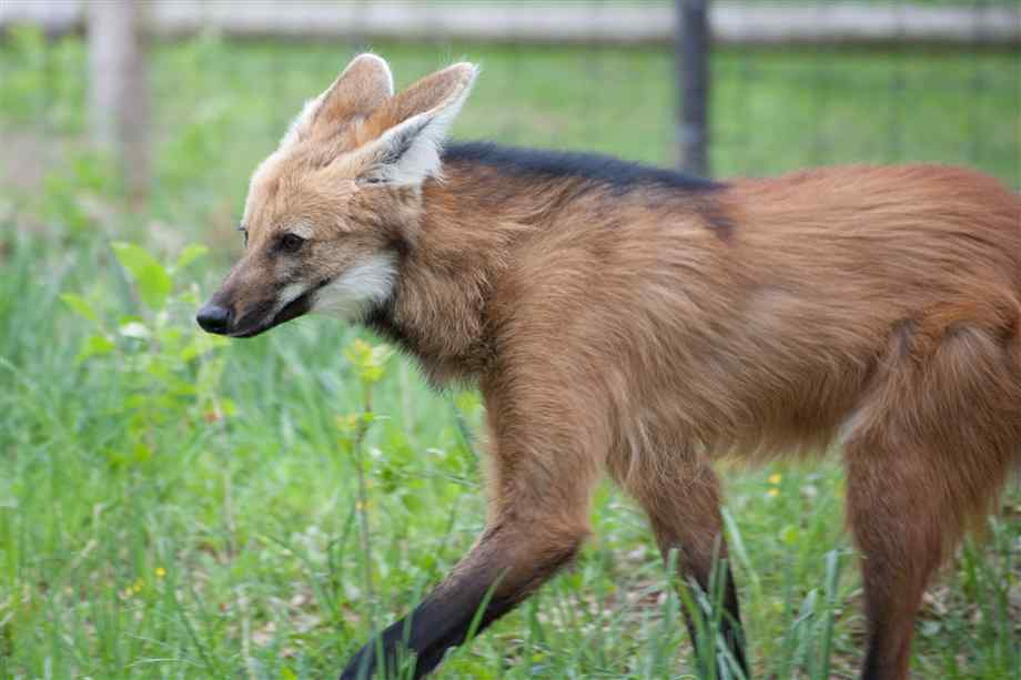 Maned Wolf Pictures Maned Wolf Pic
