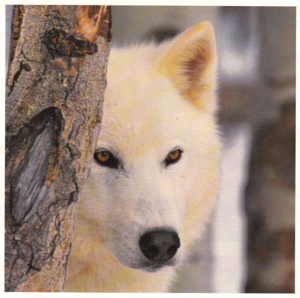 Snowlily's Character White-wolf-fire-and-ice-the-wolf-pack-17476914-605-600
