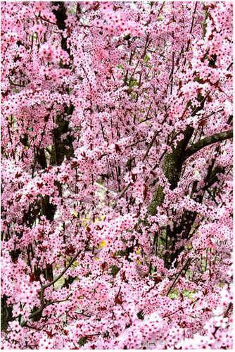 চেরি বৃক্ষ blossom