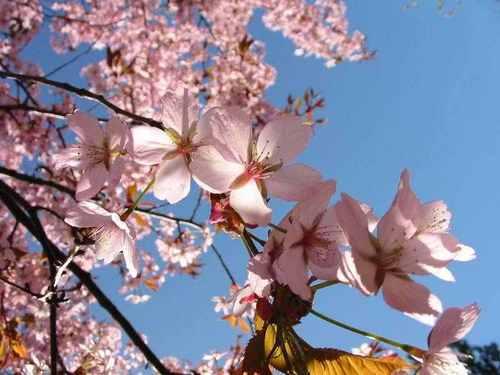 cereza, cerezo árbol blossom