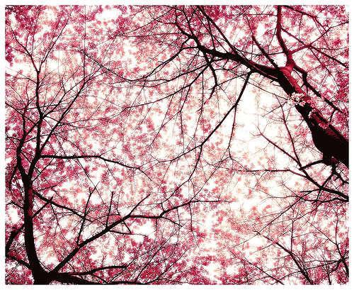 چیری, آلو بالو درخت blossom