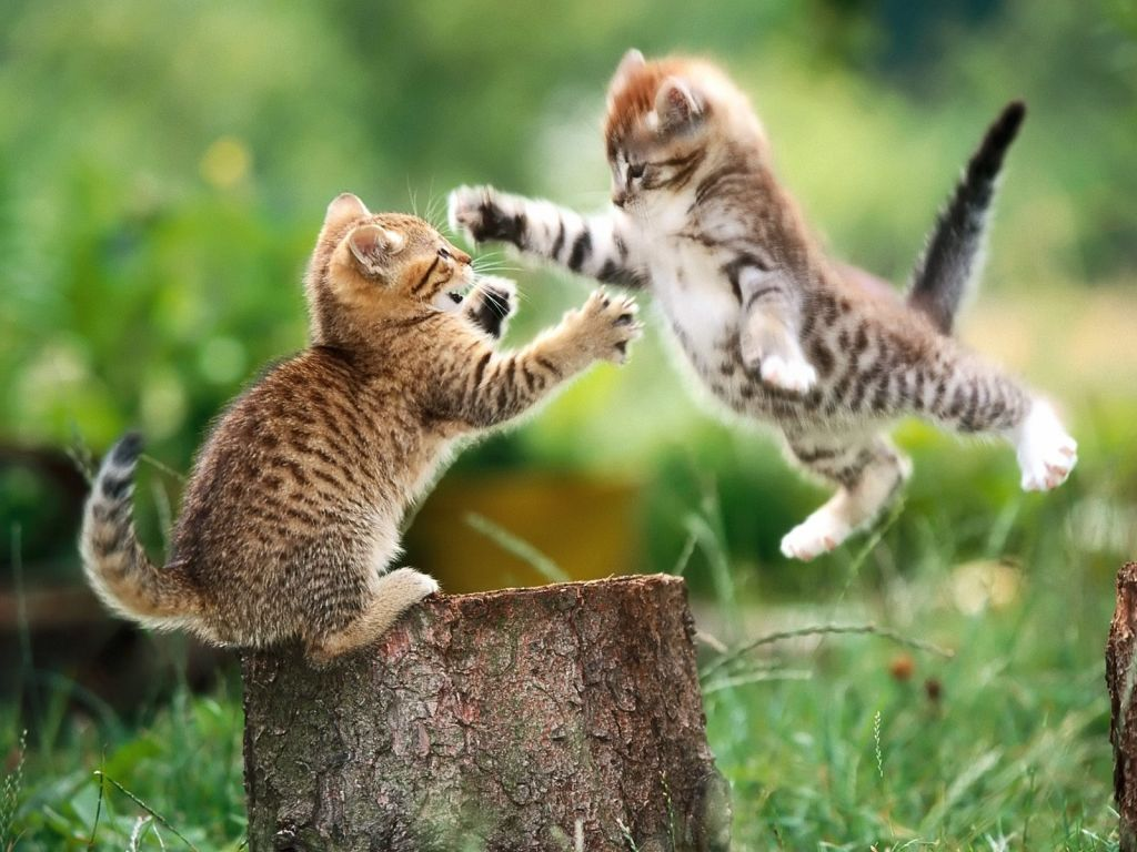 Cat Fight!