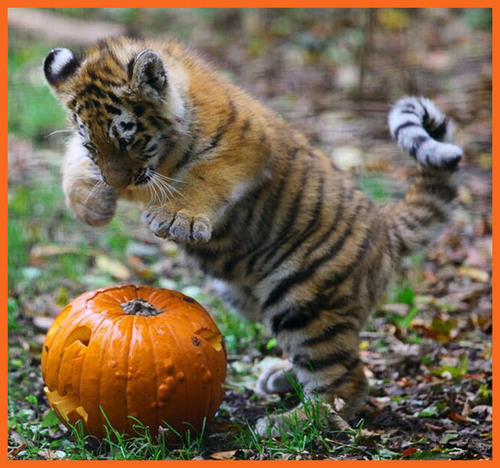 Animals love pumpkins! - halloween Photo