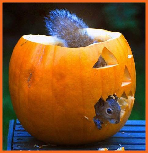 animaux l'amour pumpkins!