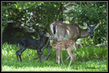 Black Deer - deer photo