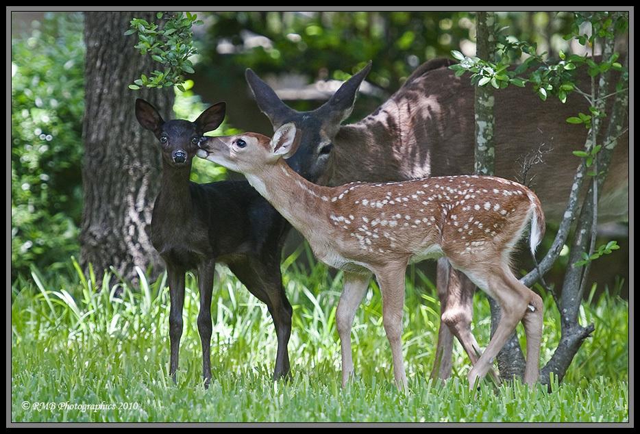 Deer Black Deer