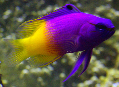 Bright Colored pesce