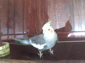 My parrot on my piano
