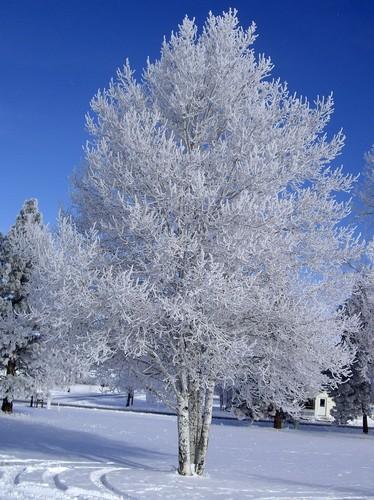 White पेड़