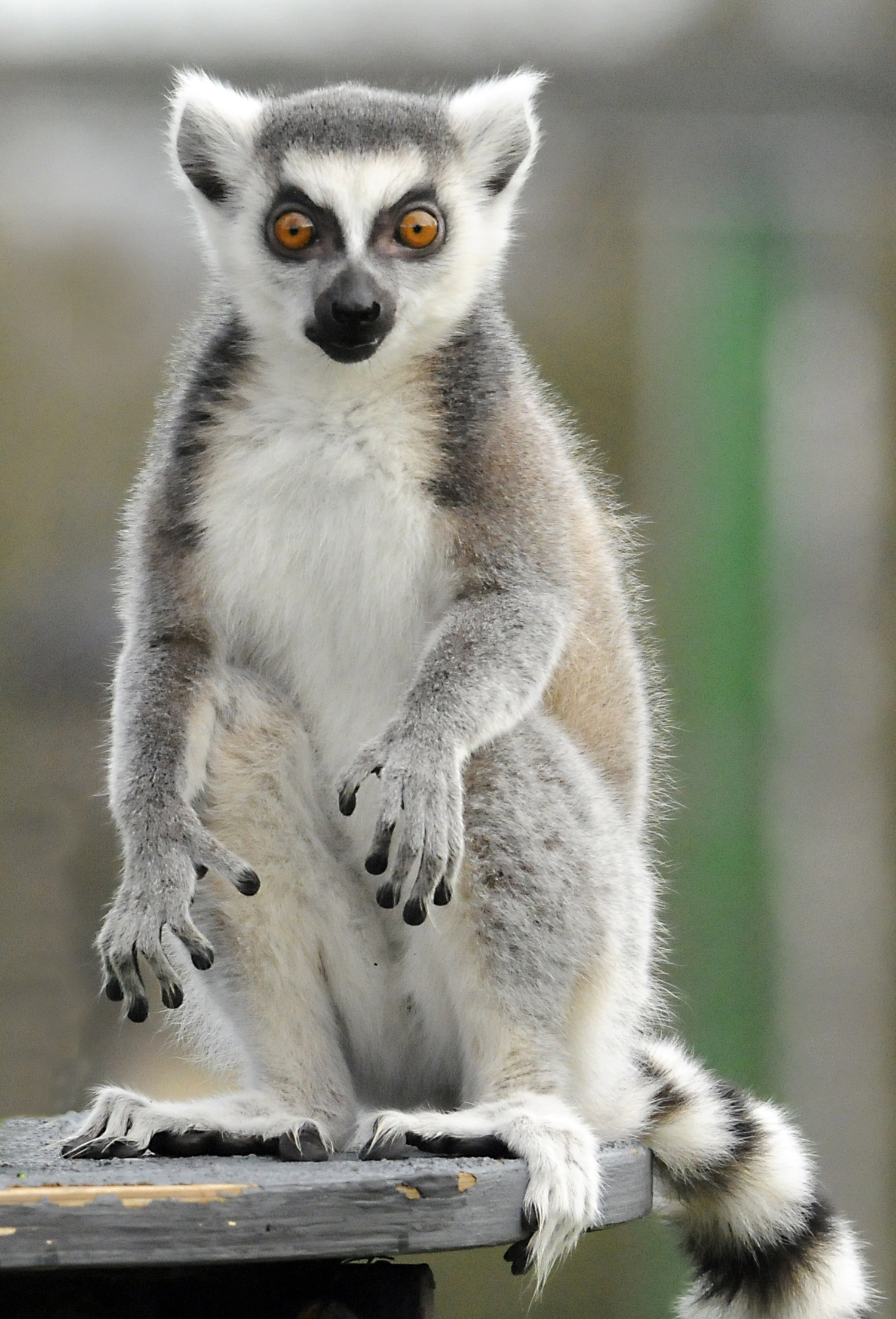lemurs images whoa hd wallpaper and background photos
