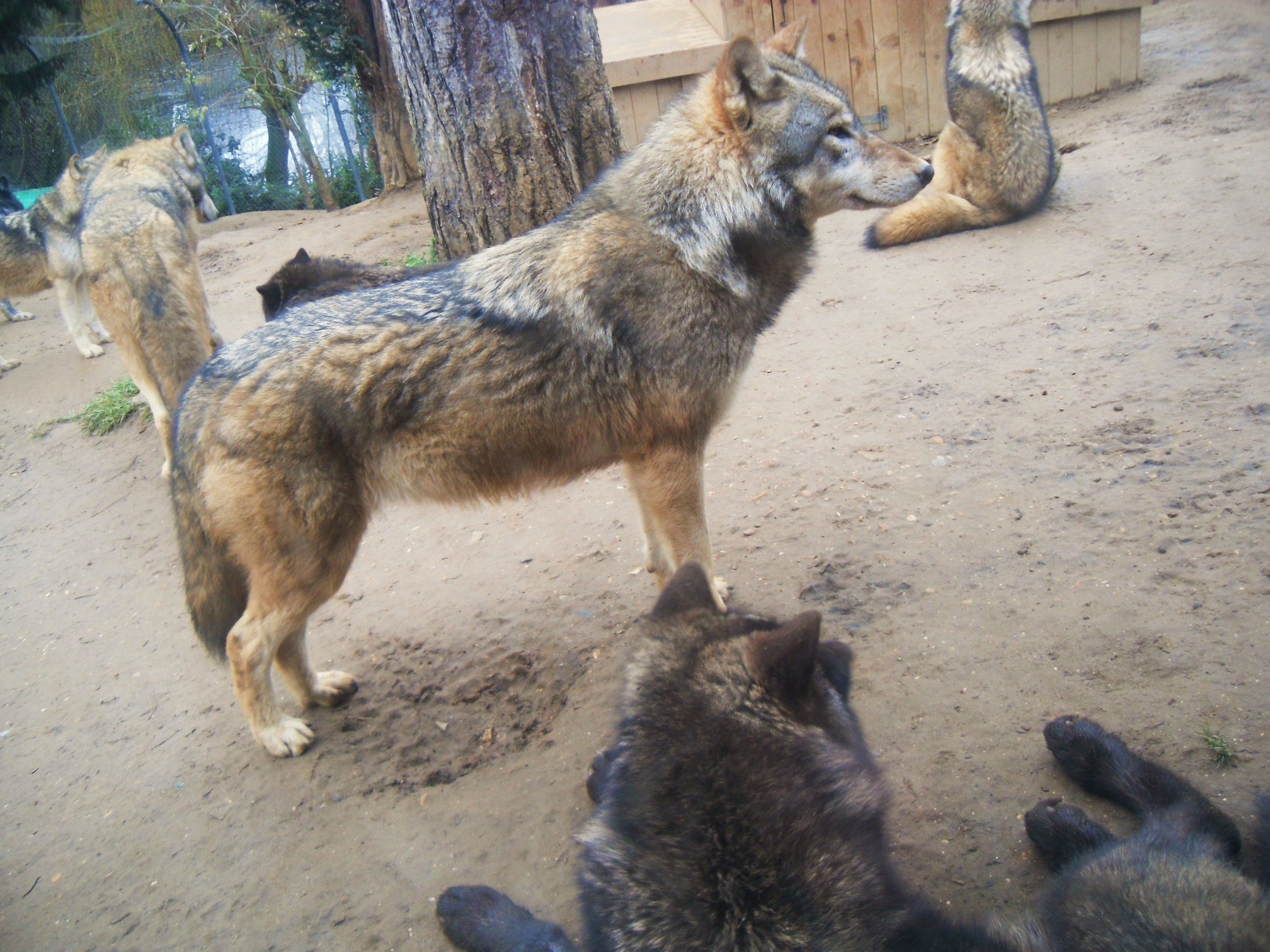 Wolves at Colchester-Zoo