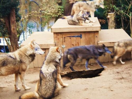 নেকড়ে at Colchester-Zoo