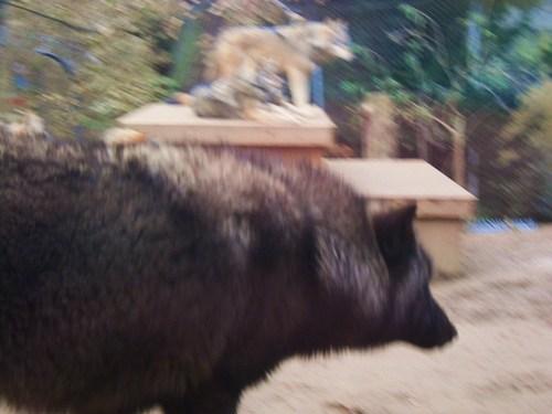serigala at Colchester-Zoo