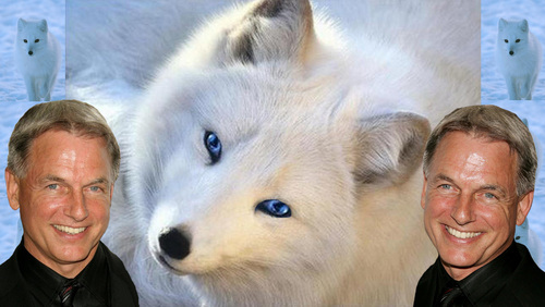 silver haired vos, fox