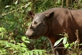 A Beautiful Sumatran Rhino in Southeast Asia - rhinos photo
