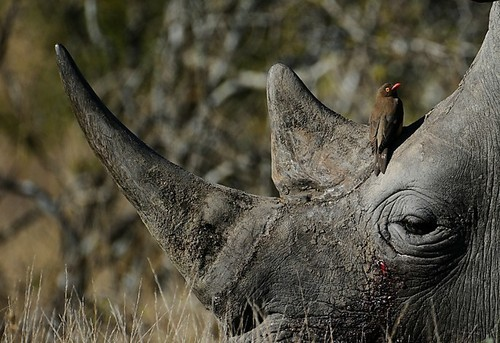 A White Rhino with an Oxpecker at the base of its horn
