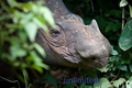 Beautiful Sumatran Rhino looking through Trees