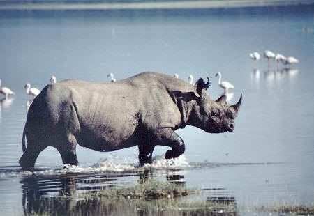 Black Rhino Running through Water