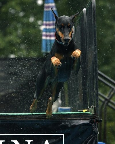 Doberman Dock Diving